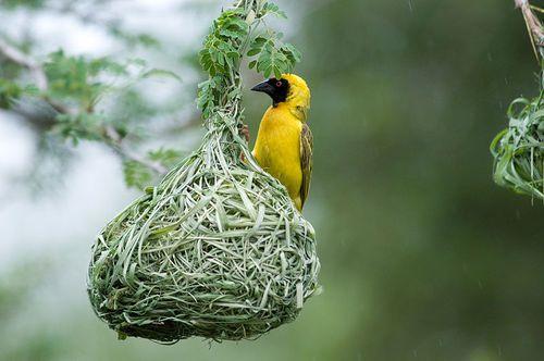 African Masked Weaver Ploceus Velatus Weaver Birds As Their