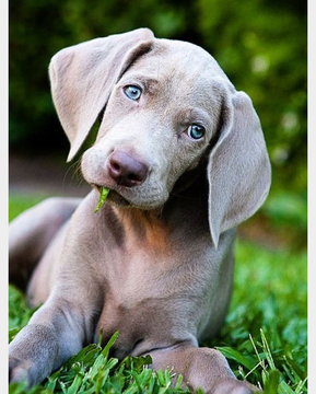 Weimaraner puppy for sale in SCOTTSDALE, AZ. ADN31439 on