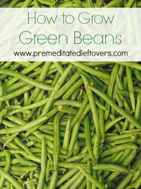 How To Grow Green Beans Growing Green Beans Green Bean Seeds Green Beans