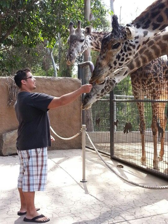 Feed Giraffes At The San Diego Zoo D San Diego Zoo Giraffe Cute Pictures