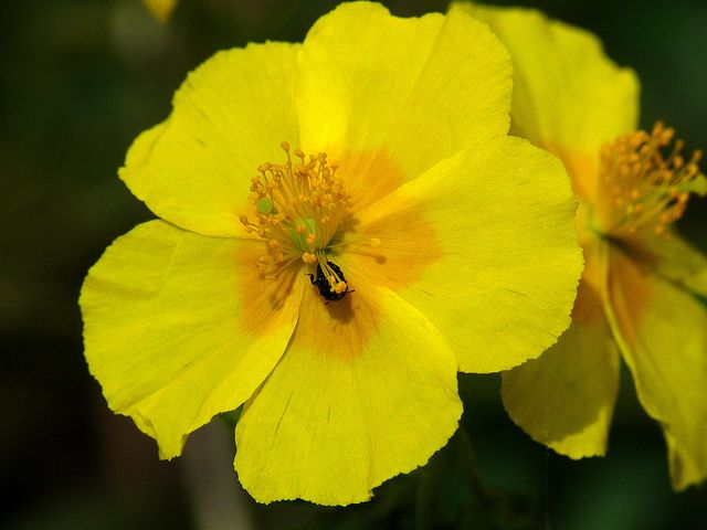 Bach Flower Remedy Rock Rose Helps To Restore Calm And Presence Of Mind In A Crisis Situation When Bach Flower Remedies Bach Flowers Flower Remedy