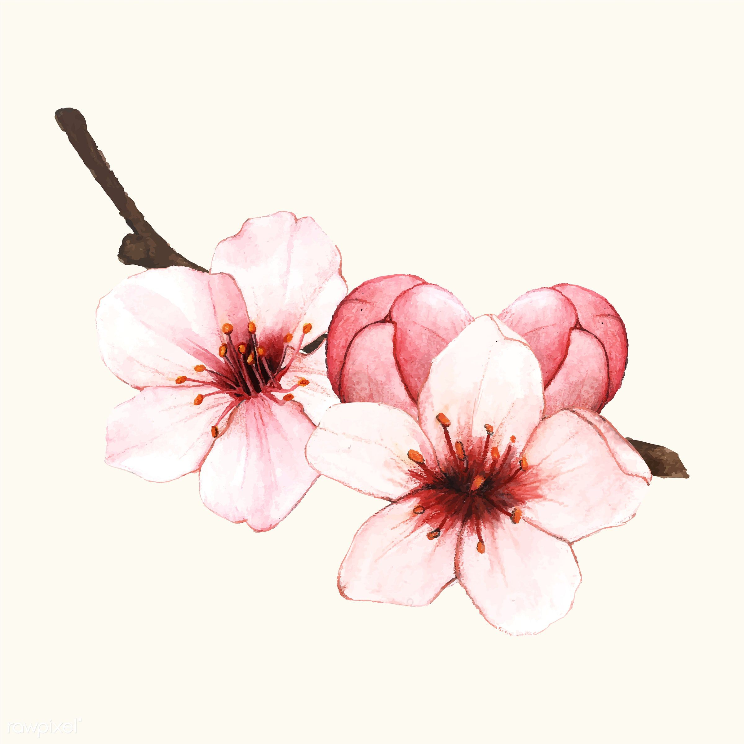 Image Result For Cherry Blooms Flowers Png Cherry Blossom Art Cherry Blossom Drawing Flower Drawing