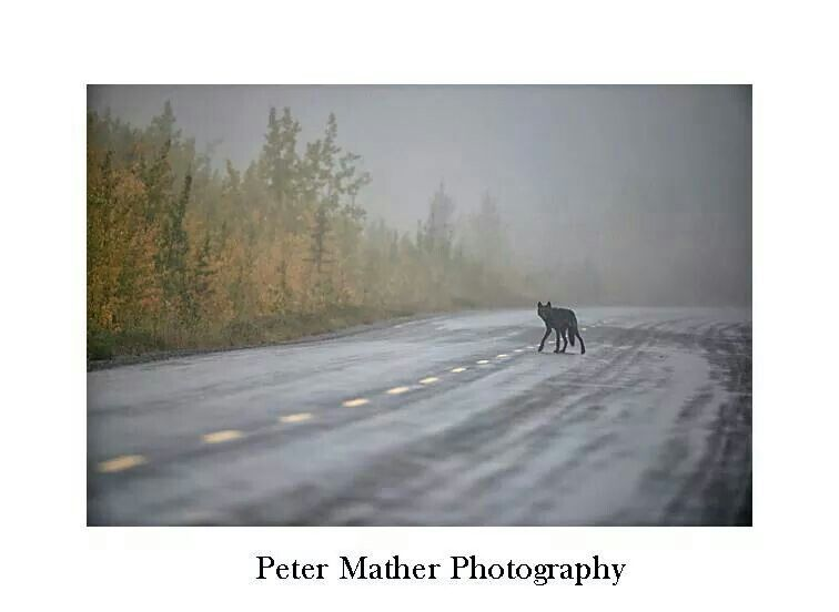 Mather - wolf crossing