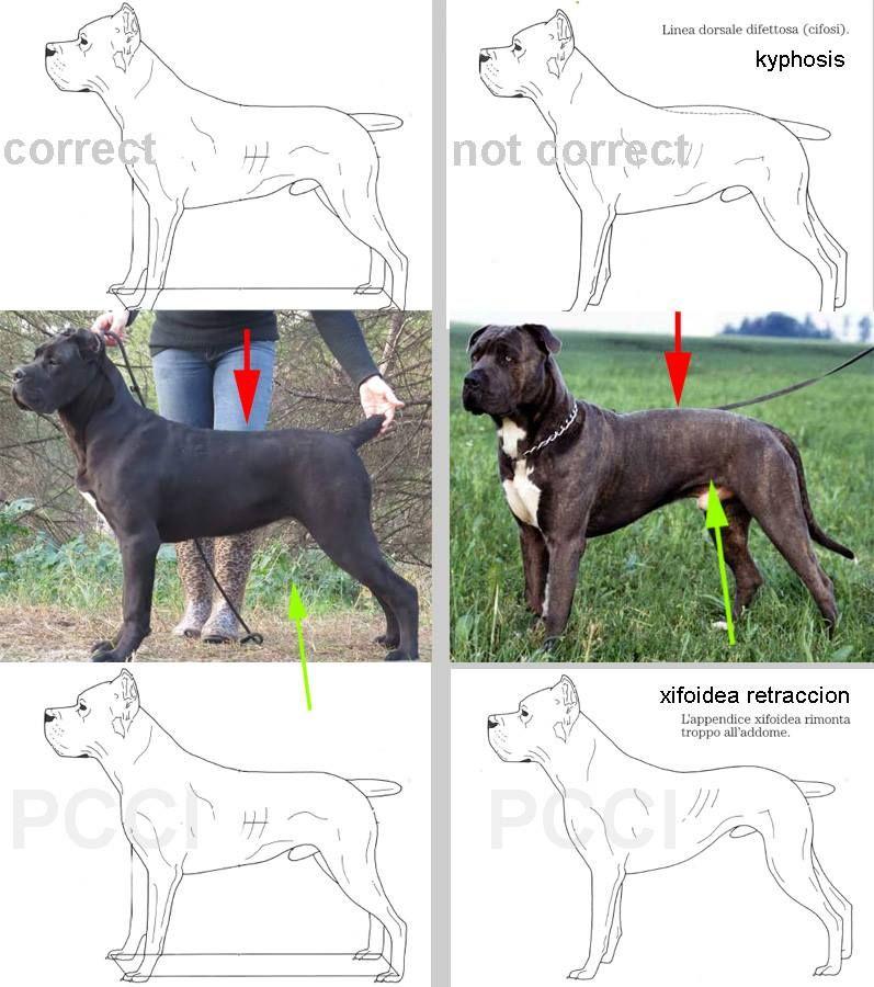 Pin By Paul On Cane Corso Cane Corso Corso Dog Cane Corso Dog