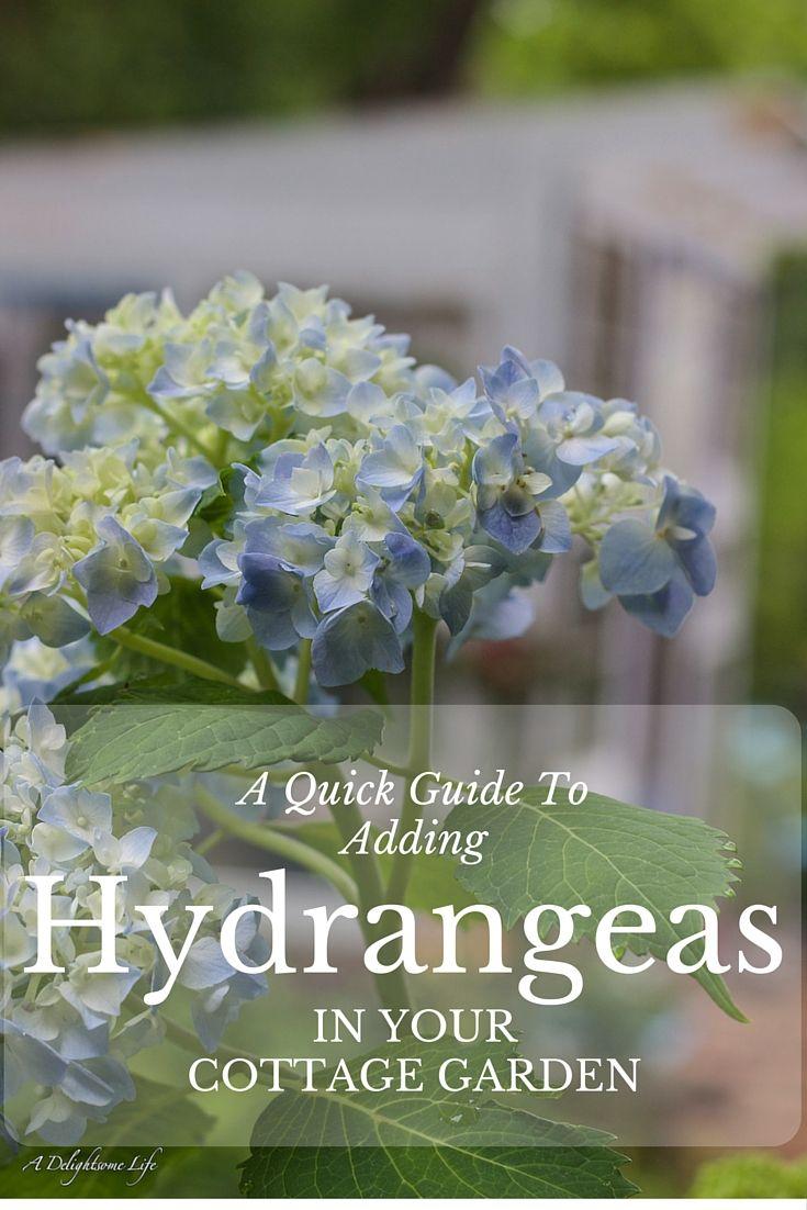 Hydrangeas in your cottage garden cottage garden garden