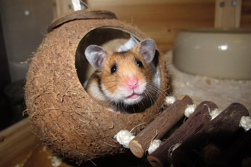 How Long Do Hamsters Live Learn Dwarf Syrian Hamster Lifespans Hamster Life Hamster Toys Hamster Care
