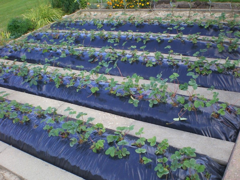 Comment planter de fraisiers sur b che noir planter des for Bache noire jardin