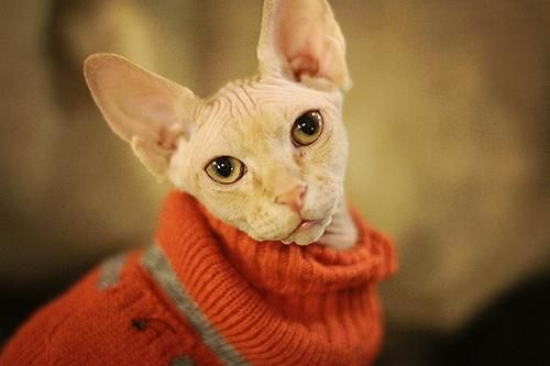 sphynx kittens in sweater   Cats and kittens, Hairless cat ...