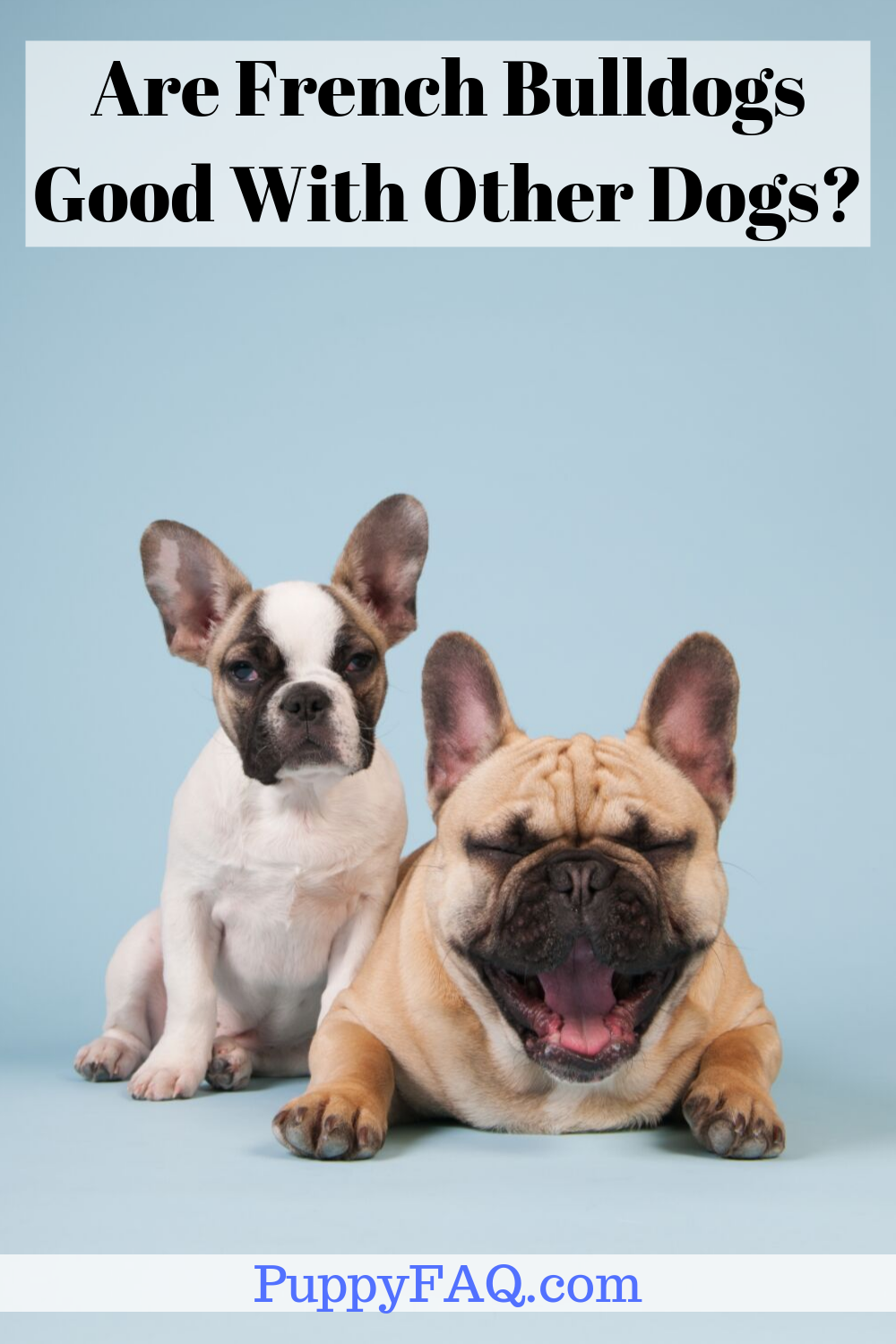 Are French Bulldogs Good With Other Dogs? (With images