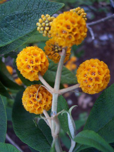 Rare Buddleia Orange Ball Buddleja Globosa 25 Seeds Plants Butterfly Bush Flower Seeds
