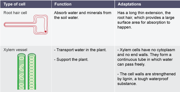 Root Hair Cell Absorbs Water And Minerals Long Thin Root Hair For