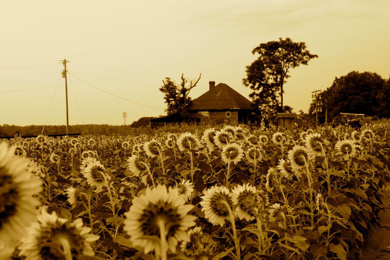 The Sunflower Farm / Rutledge, GA | On The Farm | Pinterest ...