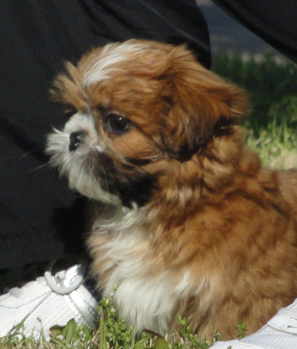 Shih Tzu Puppy Shih Tzu Puppy Shih Tzu Dog Shih Tzu