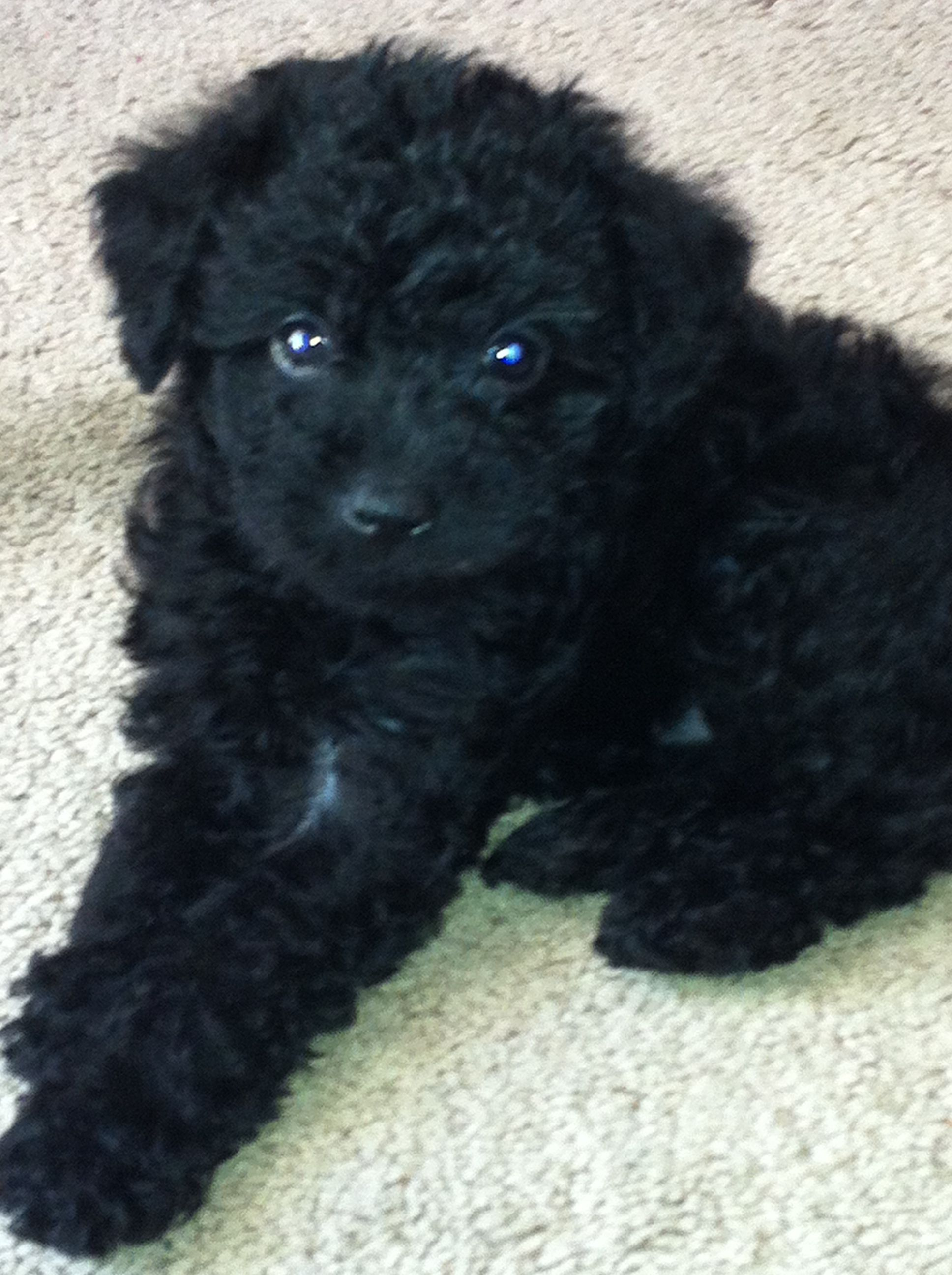 Schnoodle Schnauzer Poodle Mix Maybe I Will Get Myself A
