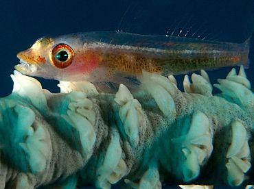 Translucent Coral Goby - Bryaninops erythrops - Fiji
