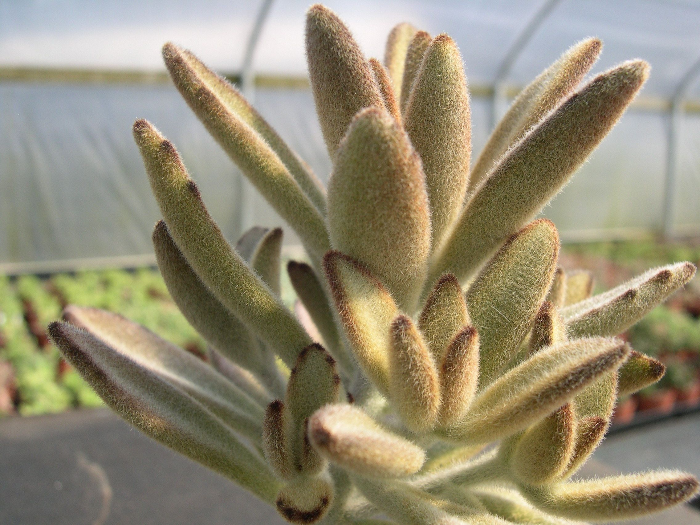 kalanchoe tomentosa chocolate soldier found one at lowe 39 s but it was on its last leg slow. Black Bedroom Furniture Sets. Home Design Ideas