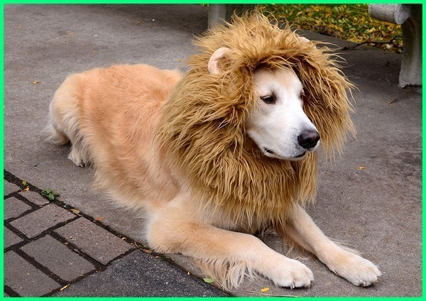 48++ Anjing yang mirip singa terupdate