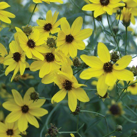 Coreopsis Tripteris U0027Flower Toweru0027 Great Perennial Plants 8u0027 Tall And 4u0027  Wide