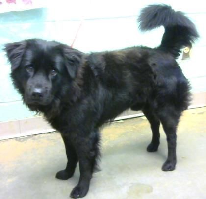 Pin By Work2440 On Perrito Animal Shelter Flat Coated Retriever