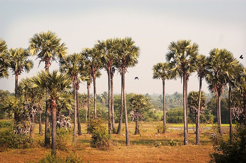State symbols of Tamil Nadu Tree Palm trees, Tamil nadu