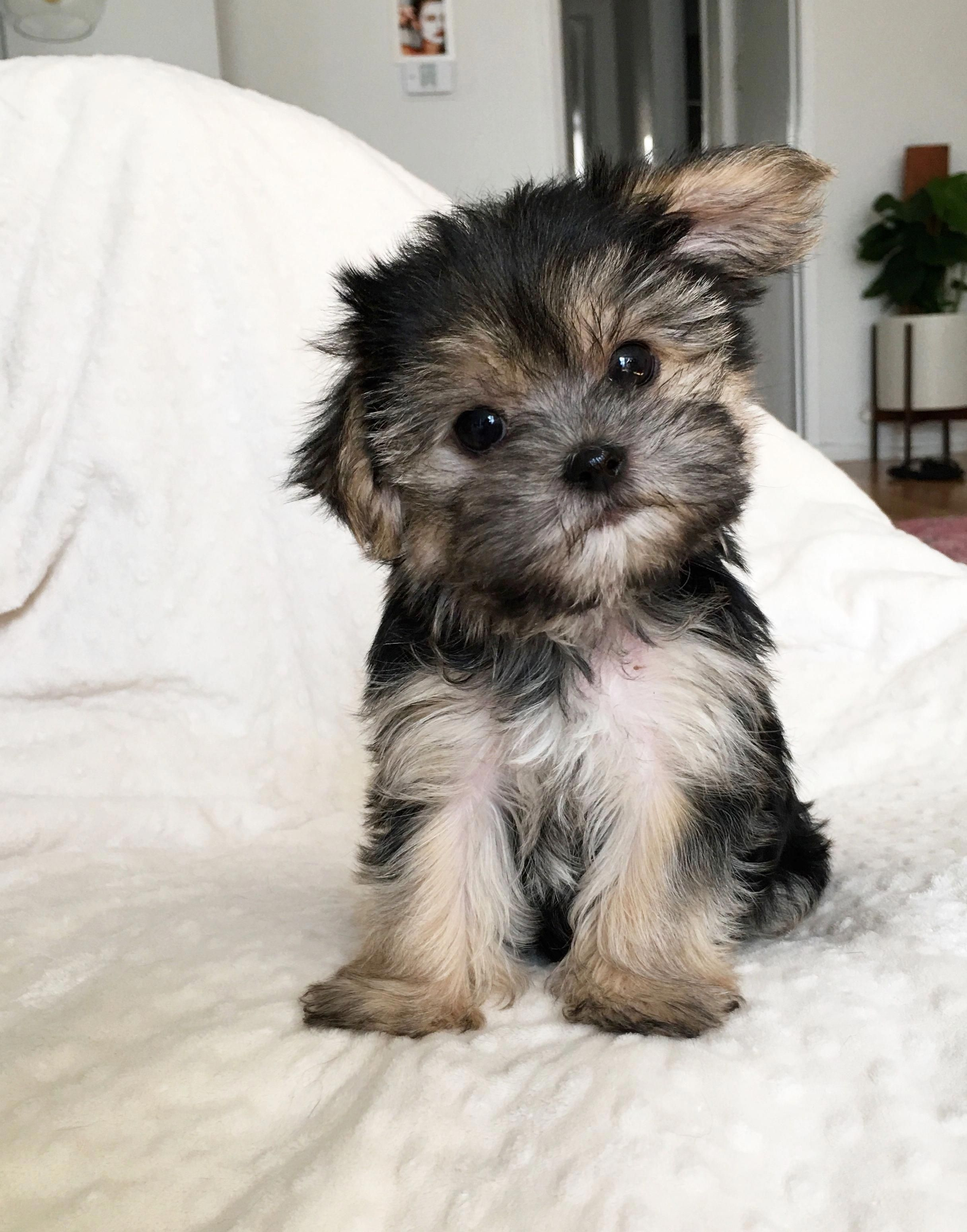 Available Puppy Archives Iheartteacups Havanesepuppy Morkie
