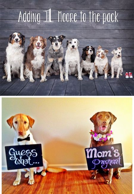 What better way to let the world know you're expecting than to have your fuzz butt do the announcing? Check out these pawsitively adorable pictures of pups preparing for their hooman brothers and sisters.