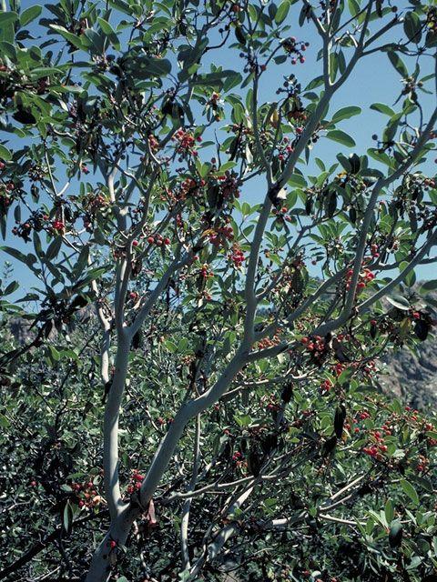 Arbutus Xalapensis Texas Madrone 3822 - Naked Indian -5402
