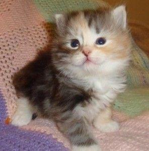 Siberian Kittens For Adoption In Michigan Nice Siberian Kittens