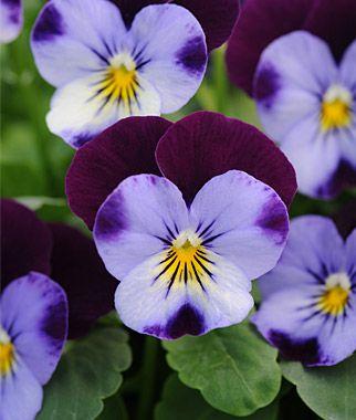 Viola Sorbet Denim Jump Up Violas At Burpee Com Annual Flowers Flower Seeds Viola Flower