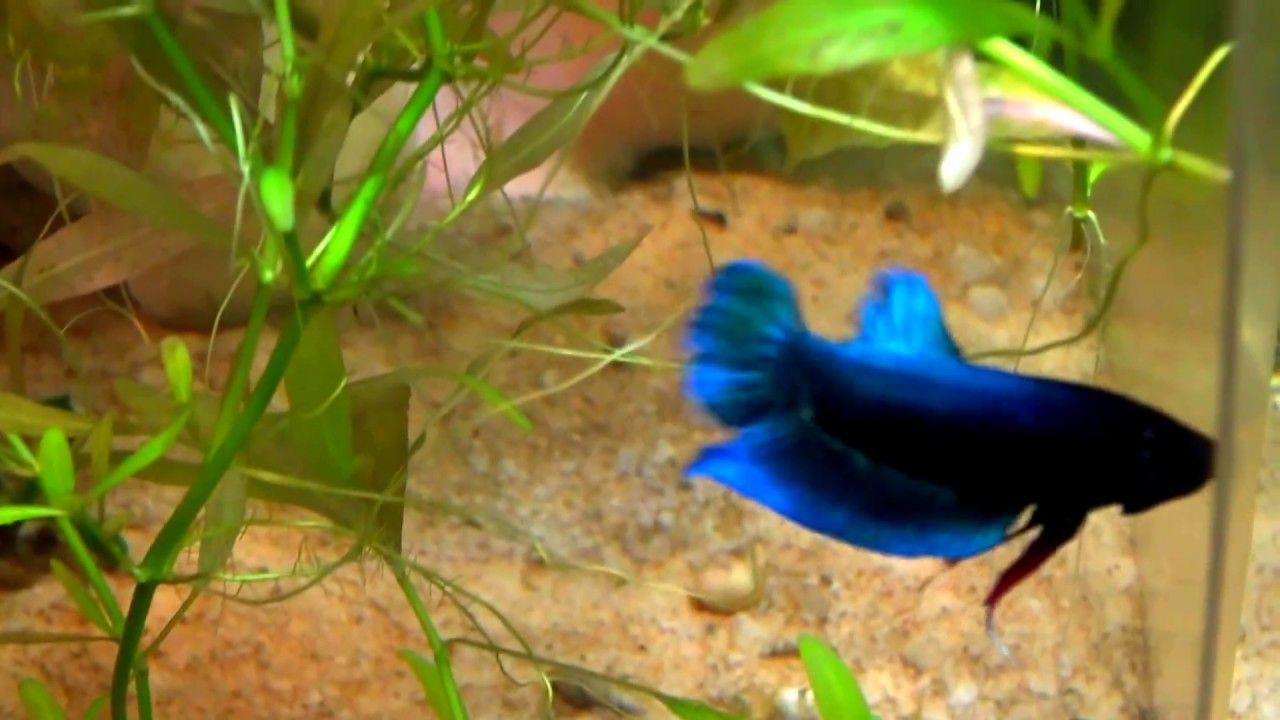 How To Breed Betta Fish Breeding Betta Fish Betta Breeding Betta Fish
