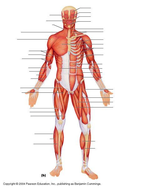 muscle anatomy quiz - Google Search | INSPO | Anatomy Reference ...