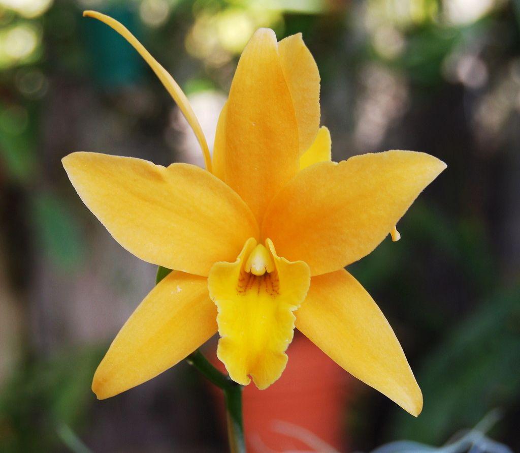 Laelia Canariensis 'Golden Glow' HCC/AOS   Flickr - Photo Sharing!