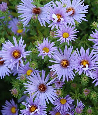 Aster Raydon S Favorite Asters At Burpee Com Flowers Perennials Perennial Plants Plants