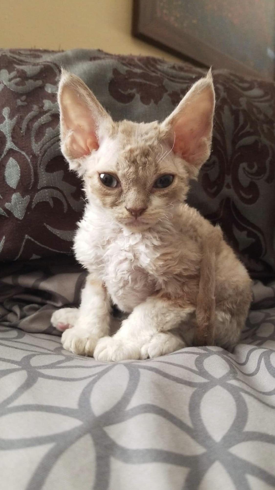 Best 211 Devon Rec Hd Wallpaper Interestpic Co Devon Rex Cats Devon Rex Kittens Cute Baby Animals