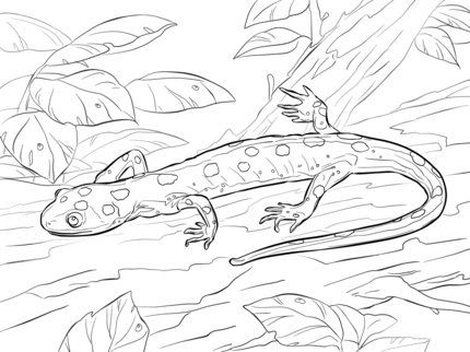 Yellow Spotted Salamander Coloring Page Coloring Pages Free Printable Coloring Pages Coloring Books