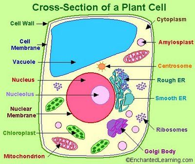 Plant Cell Plant Cell Project Plant Cell Model Plant And Animal Cells