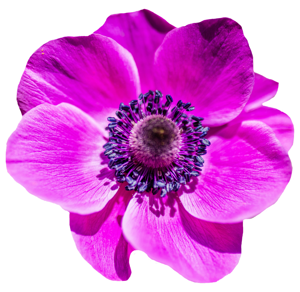 Flower Png Image Flower Png Images Poppy Flower Anemone Flower