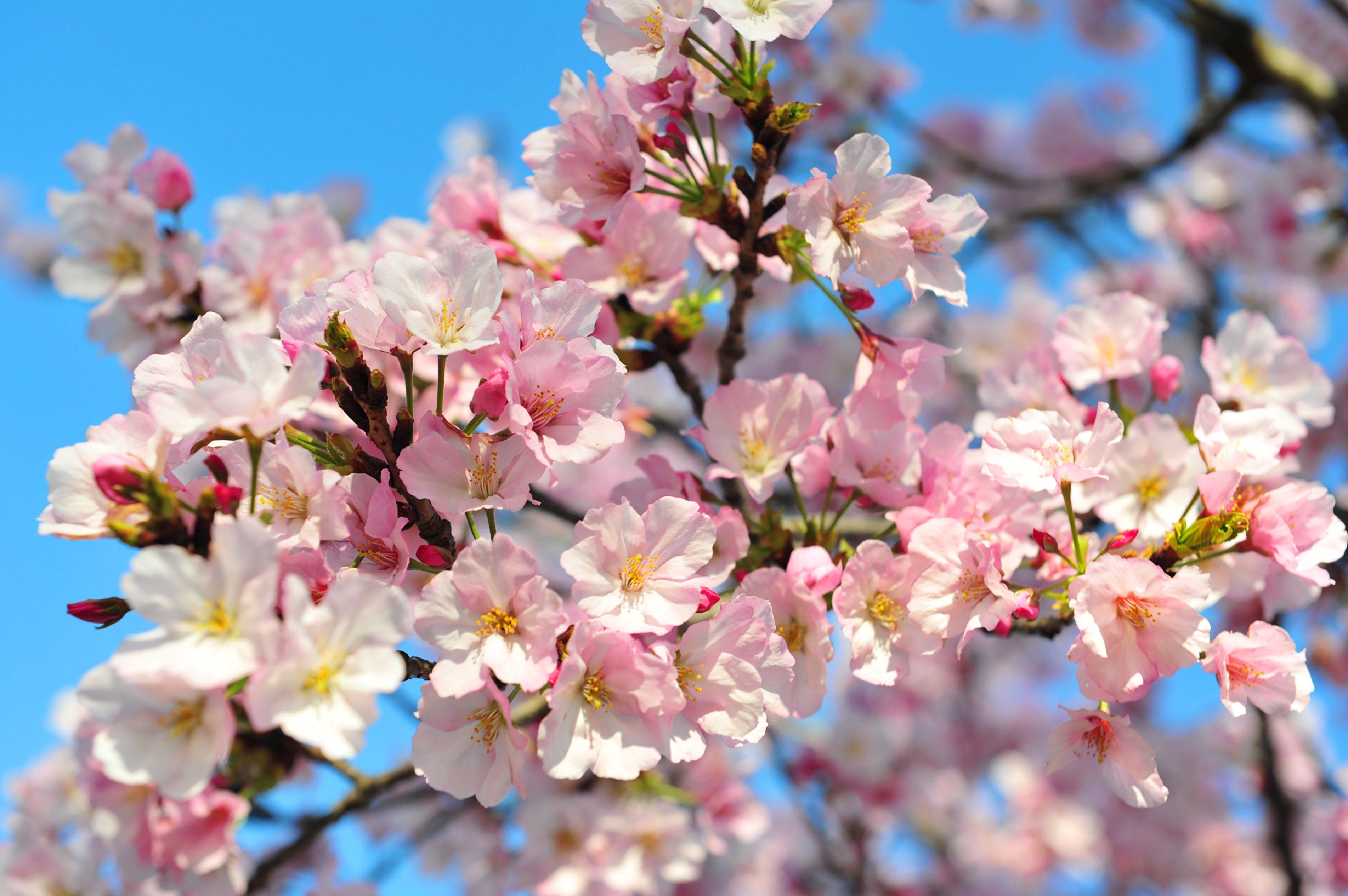 Springtime S Cherry Blossoms Have A Dark Side Small Garden Design Small Garden Cherry Blossom