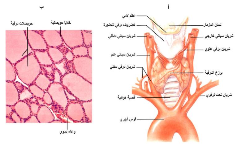 Pin By Chemistry On الحيوية In 2021 Thyroid Thyroid Gland Gland