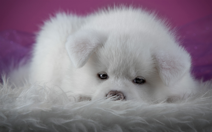 Download Wallpapers Akita Inu Small Fluffy White Puppy Japanese Akita Little White Dog Cute Animals Great Japanese Dog Puppies Pets Akita Besthqwallpape Japanese Dogs Cute Animals Puppies Cute Animals