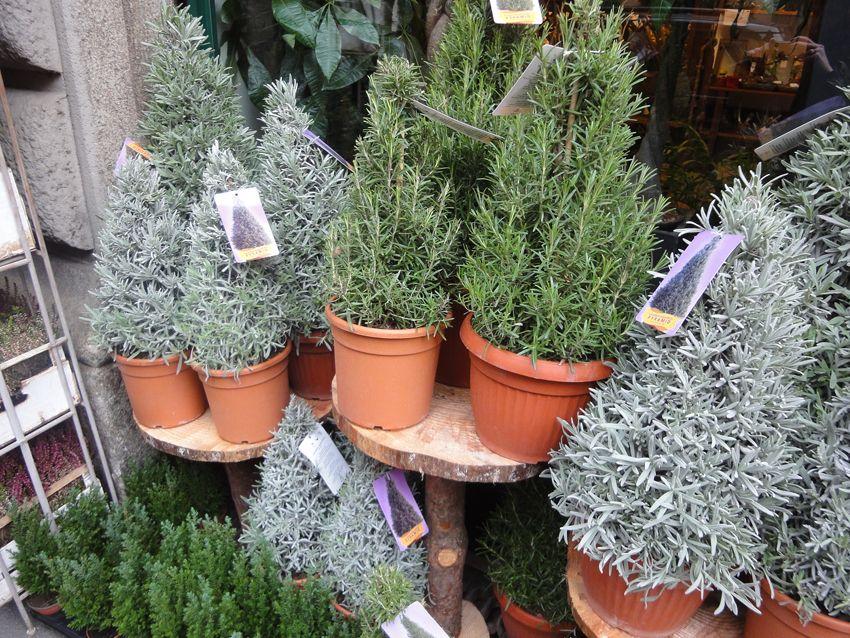 Tur 12 Der Etwas Andere Tannenbaum Monochrome Lavendel Pflanze Tannenbaum Baum
