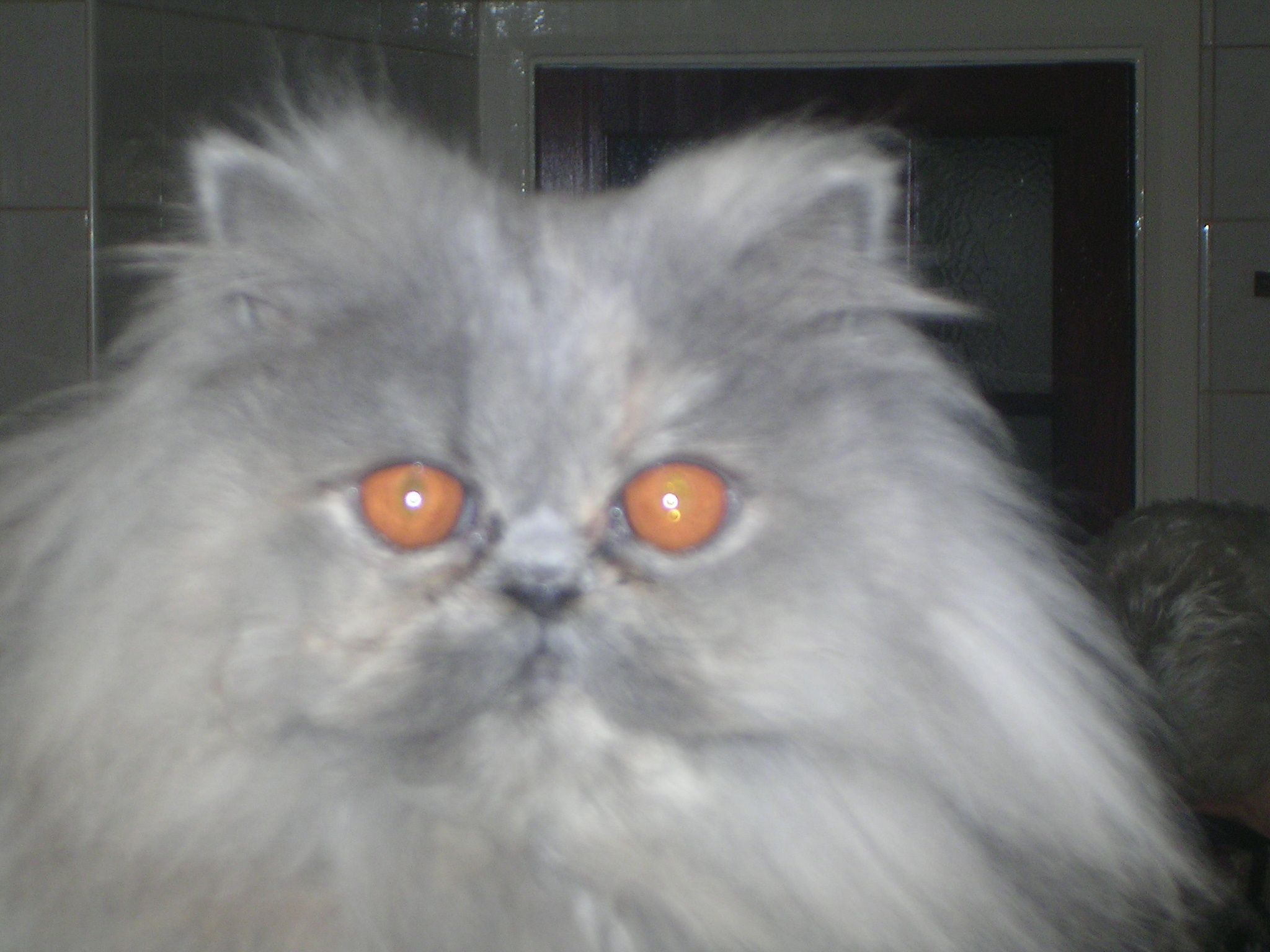 Blue Persian Cat for Sale (With images) Persian kittens