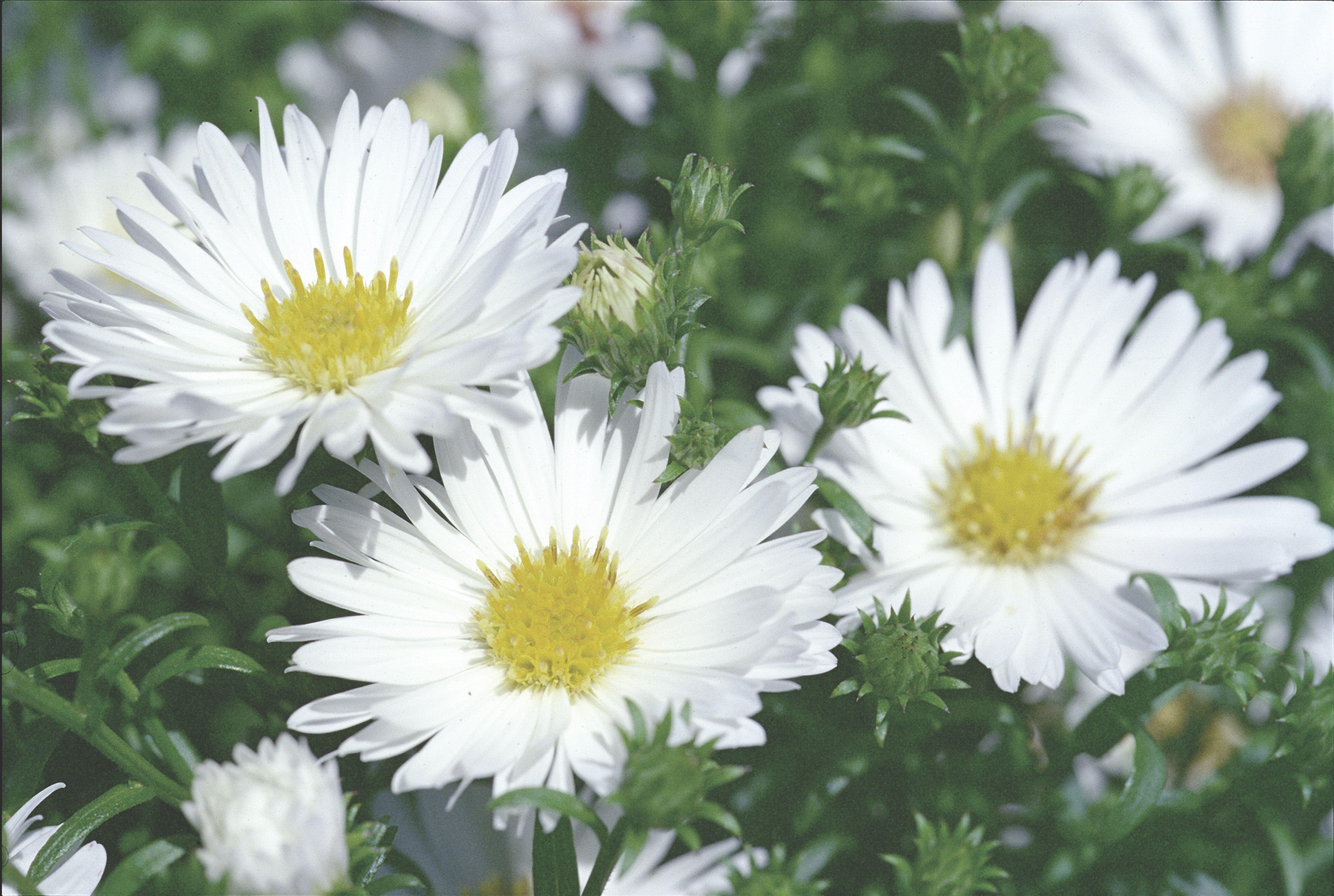 Aster Novii Belgi Magic White Flower Garden Flowers Plants
