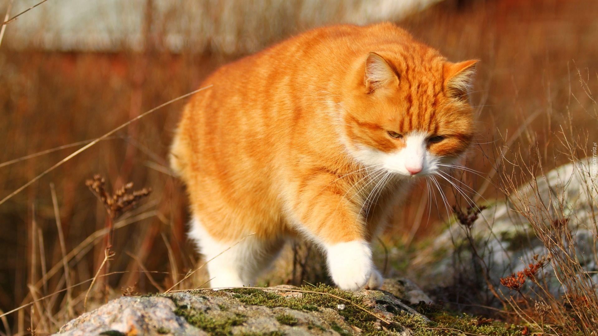 Rudy Kot Kamienie Tapety Zwierzęta Tapeciarniapl