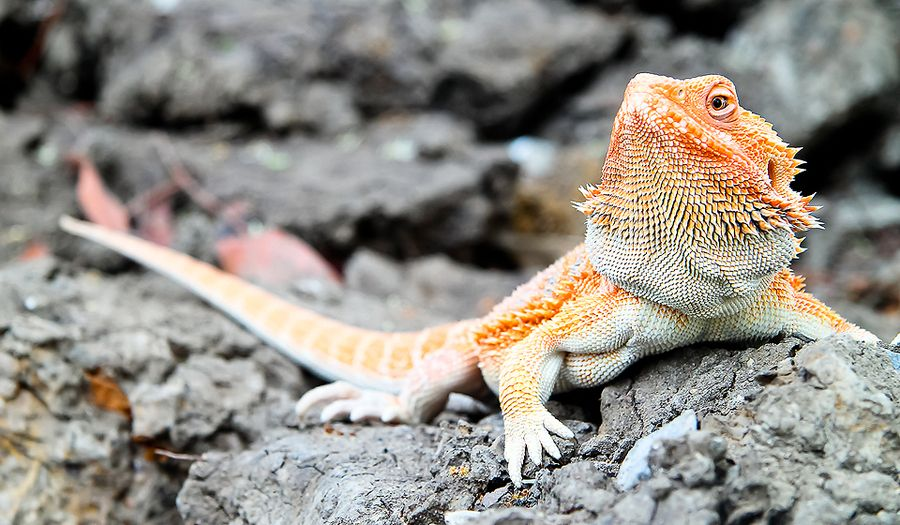 Bearded dragon   Geckos and lizards   Pinterest   Ave y Animales