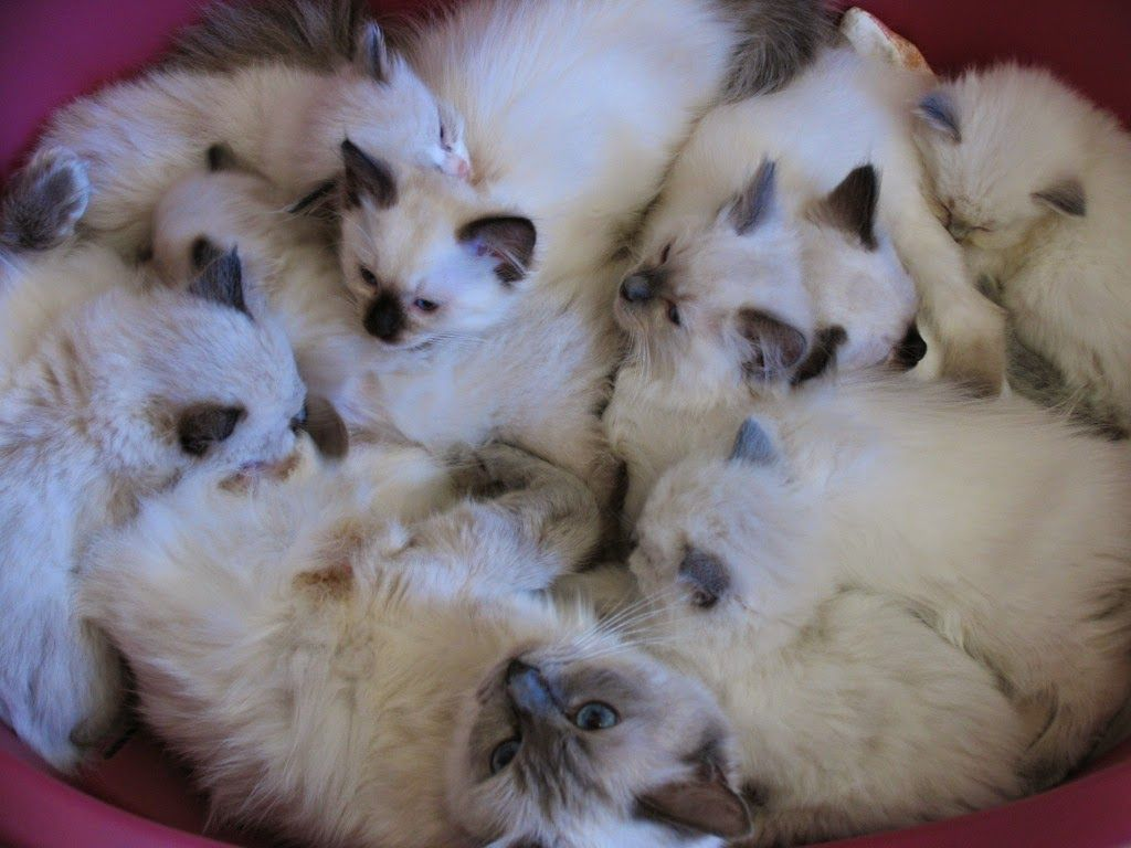Birman Cat And Kittens Breed The Birman Cat Is A Medium Sized Cat