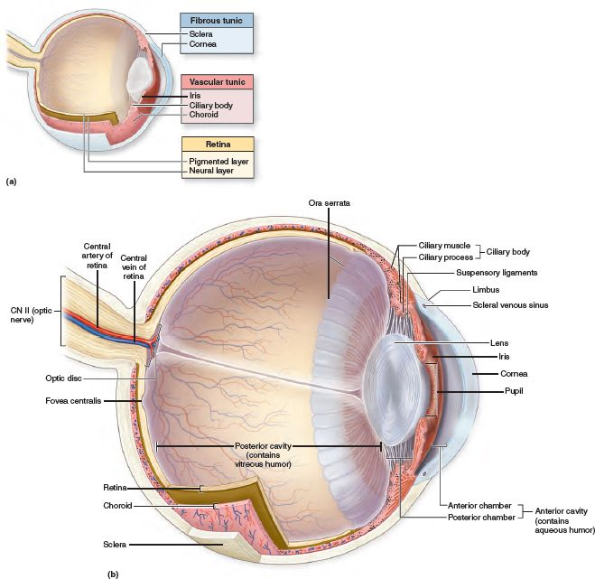 Anatomy Of The Internal Eye Sagittal Views Depict A The Three