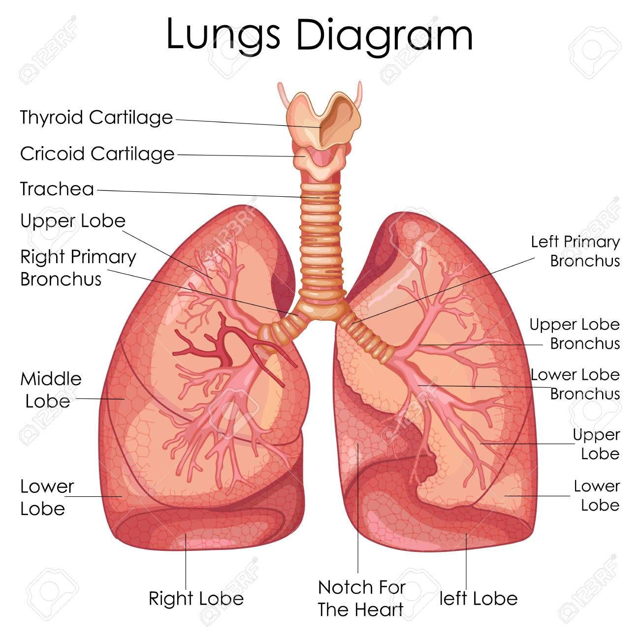 hight resolution of lungs diagram