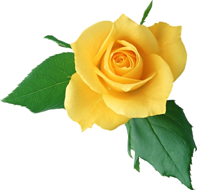 Yellow Rose Png Clipart Flower Background Iphone Lily Flower Yellow Roses