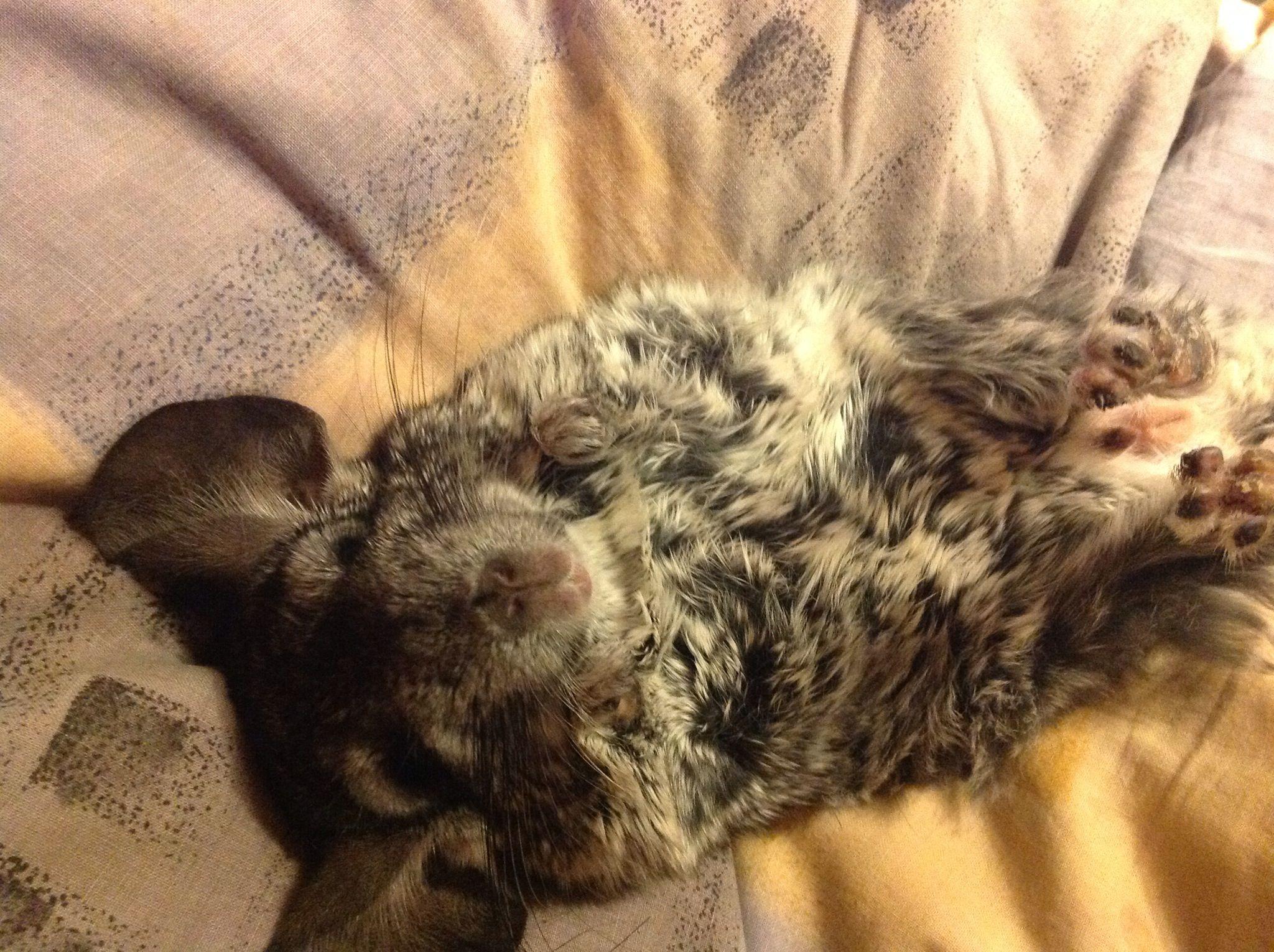#chinchilla #chinchillas #szynszyla #relax #hobby #animals
